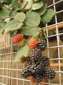 Thornless blackberry